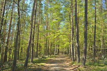 Las (drzewa liściaste i iglaste)