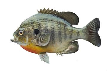 Bluegill sunfish isolated on white background