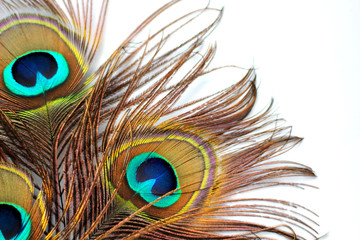 Three peacock feathers