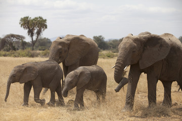 Familiar herd of elephants  with palm on background