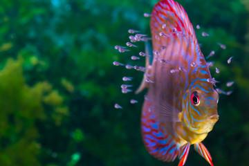 Discus fish with baby fish swimming in aquarium