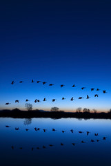 Wild Geese on a Blue Evening