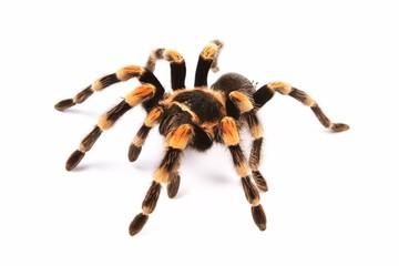 Meksykańska tarantula redknee (Brachypelma smithi)