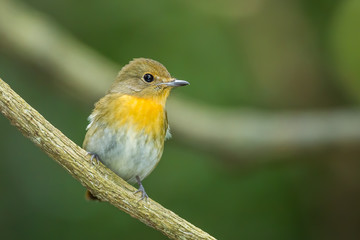 Female Hill Blue Flycatcher (Cyornis banyumas) in nature