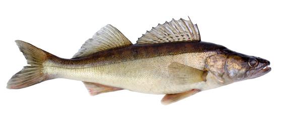 European walleye fish isolated on white background
