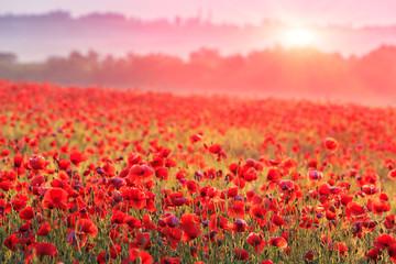 red poppy field in morning mist
