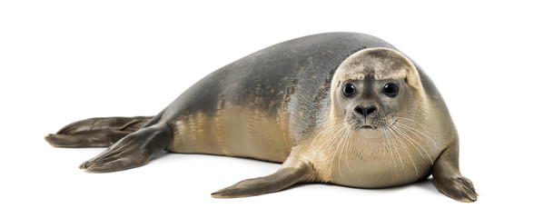 Common seal lying, Phoca vitulina, 8 months old, isolated