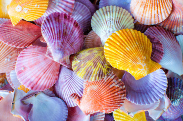 A number of Colorful Scallop seashell