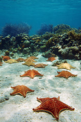 Many starfish underwater with a coral reef