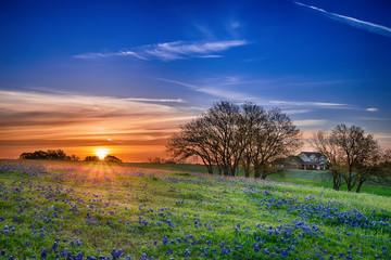 Teksas bluebonnet wildflower wiosny pole przy wschodem słońca