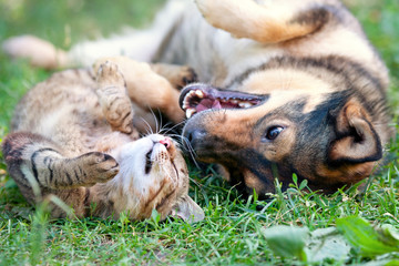 Dog and cat playing together outdoor.Lying on the back together.