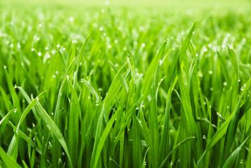Hohes nasses Gras in Nahaufnahme