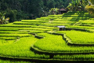 Tarasy ryżowe wyspy Bali, Jatiluwih, Ubud