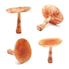 amanita rubescens mushroom