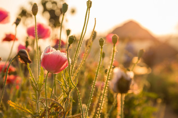 poppy flowers weed orange sun light