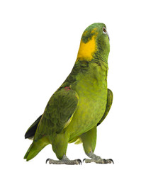 Yellow-naped parrot looking back (6 years old)