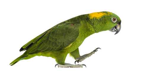 Yellow-naped parrot (6 years old) walking, isolated on white