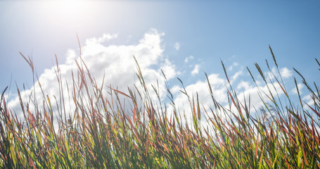Grass in sunny day on blue sky