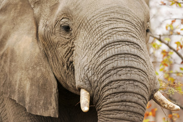 Old wild African Elephant portrait