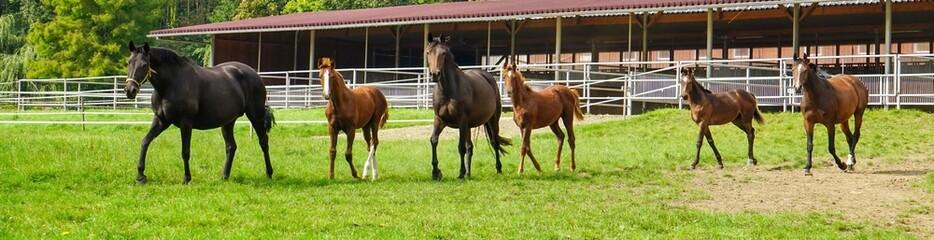 Pferdezucht, Pferde auf Weide - Panorama