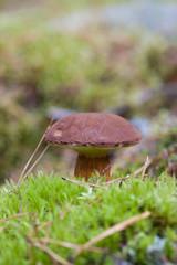 Xerocmus badius mushroom growing in the natural environment