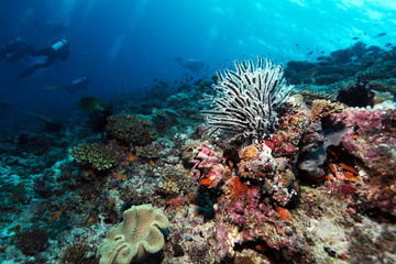 Sea Lilies on Tropical Coral Reef