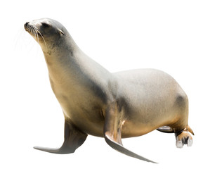 Earless seal