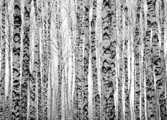 Pnie zimowe brzozy