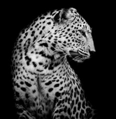 black and white side of Leopard