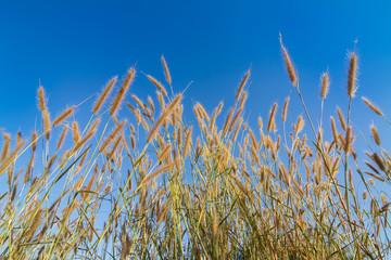 Gramineae grass against blue sky
