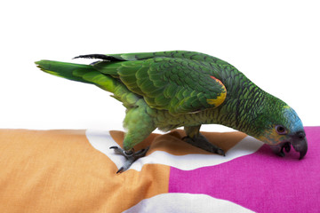 parrot at home
