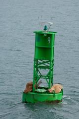 Stellar Sea Lions resting on a buoy in Port Veldez