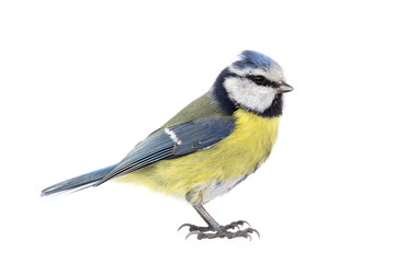 Blue tit on white background seen from the side