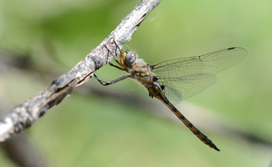 A Dot-winged Baskettail dragonfly rests on a branch in the after