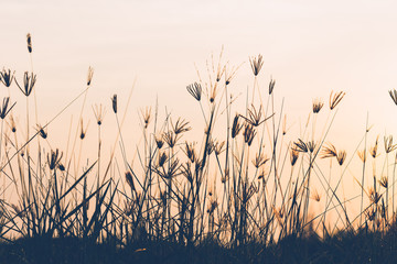 Abstract of grass flower in sunrise time