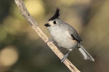 Titmouse posado en una rama