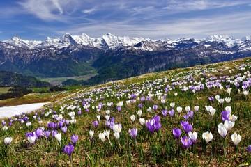 Krokuswiese bei Interlaken mit Berner Alpen