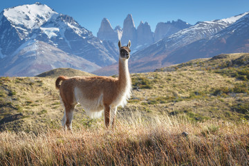Guanaco in National Park Torres del Paine, Patagonia, Chile