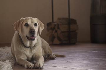 yellow labrador in cozy home