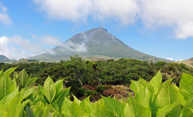 Volcano Pico with Hyrdangeas in front - Pico island, Azores