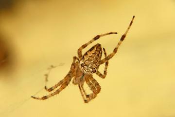 Araneus diadematus spider taken closeup.
