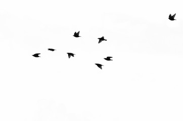 Flock of European Starlings Silhouetted on a White Background