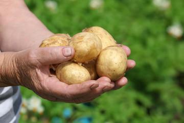 Female handful of new potatoes in garden