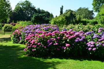 Shrub borders of Hydrangea in an English country garden in August.