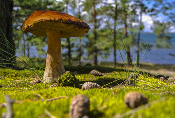 Fully grown boletus mushroom in green moss near the seaside