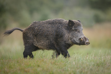 Male wild boar in autumn