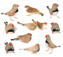 set zebra finch isolated on white background with clipping path, taeniopygia guttata