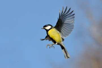 Flying Great Tit against bright blue sky background