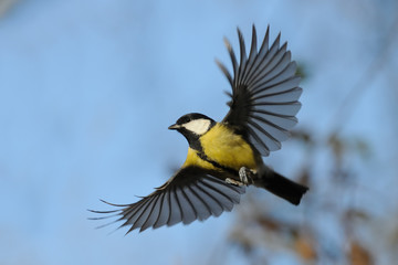 Flying Great Tit against autumn sky background