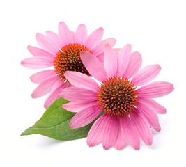 Echinacea flowers closeup